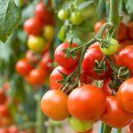 Cómo Producir Tomates en Huertos Caseros