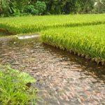 Producción de Alimentos para las Áreas más Necesitadas de Panamá a través de la Rizipicicultura