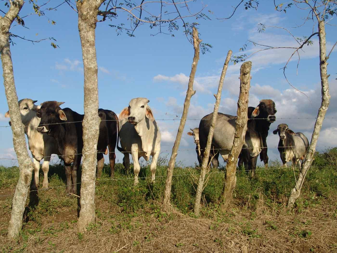 La Producción Animal de Herbívoros Rumiantes y Monogástricos Debe Ser Básicamente un Pasto