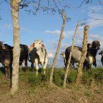 La Producción Animal de Herbívoros Rumiantes y Monogástricos Debe Ser Básicamente a Pasto
