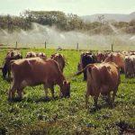 Producción de Leche Bajo Sistemas Pastoriles