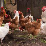 Medidas Sencillas para Prevenir Enfermedades en Aves de Patio