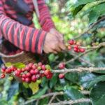 6000 fincas cafetaleras mejoraron su sostenibilidad en Centroamérica y la República Dominicana