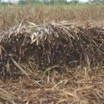 Métodos de Siembra de  Pastos de Corte y la Caña de Azúcar