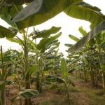 La FAO y sus socios redoblan esfuerzos para combatir una enfermedad del banano
