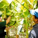 El manejo inteligente de la mosca del mediterráneo en México afianza la producción de alimentos