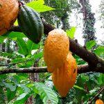 La combinación microbioma y genética del cacao elevan la tolerancia y el biocontrol de patógenos