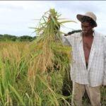 Pequeños productores de Isla Sevilla son apoyados para la cosecha de arroz