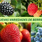 La exitosa expansión de las nuevas variedades de frutillas/fresas de la Universidad de Florida en Latinoamérica
