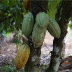Aprueban ley para impulsar la producción de cacao